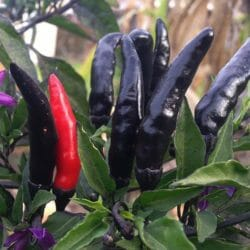 CHILLI PEPPER - Maui Purple - Capsicum annuum x frutescens