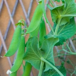 SHELLING PEA - Alderman (Telephone) - Pisum sativum