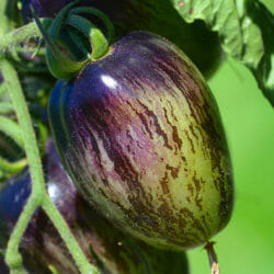 TOMATO - Atomic Grape - Lycopersicon esculentum