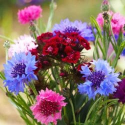 Cornflower - Bachelor Buttons