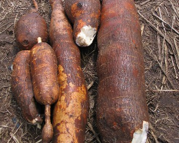 Released Cassava Varieties in Nigeria | Cassava Seed Tracker
