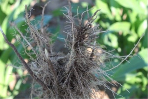 When nematodes enter a soybean plant, they damage the roots.