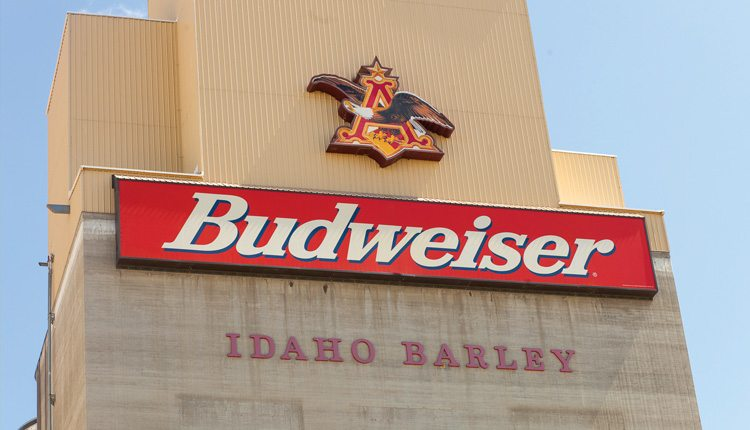 If you're holding a six-pack of Budweiser or Bud Lite, two or three of the beers in your hand were made from Idaho barley.