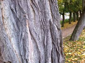 Bit of edgy Belgium tree bark. Ypres, Belgium 2016