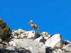 022a6-bighorn-sheep3
