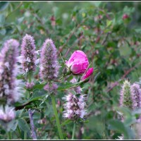 wild rose and horse mint