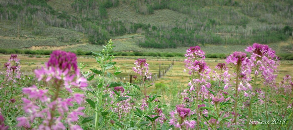Scofield horse barn fence-line and Rocky Mountain Bee Plant.