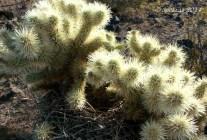 Teddy Bear Cholla with nest