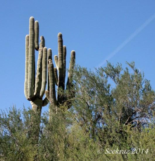 saguaro cacti multi-armed duo