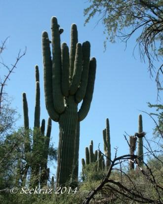 saguaro cactus behemoth