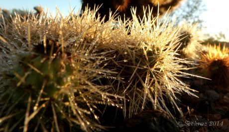 dew on Teddy Bear cactus spines