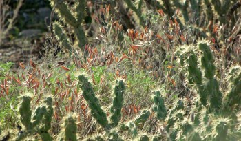 cholla cacti and winter plants