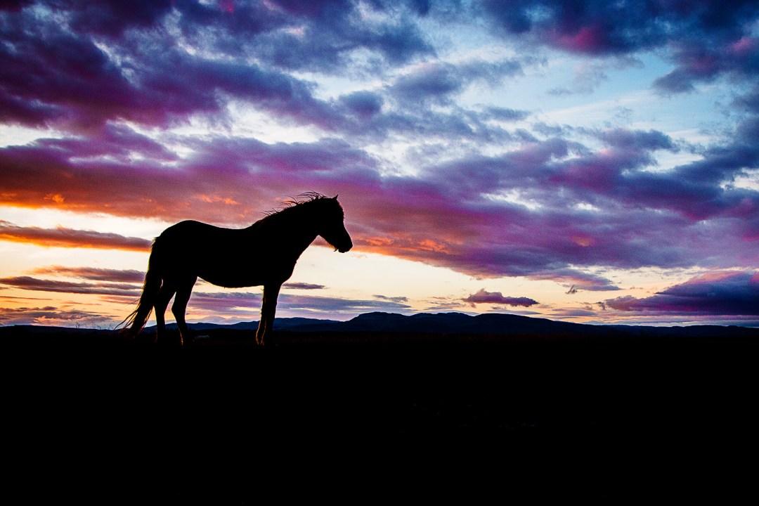 Island Pferde   seelenschmeichelei.de