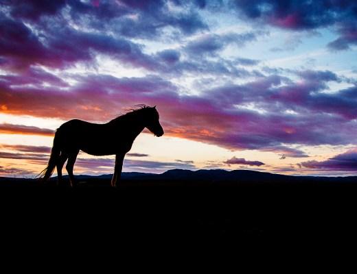 Island Pferde | seelenschmeichelei.de