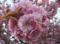 rosa Blütenpracht