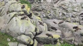 Seehund-Kolonie bei Cape Foulwind