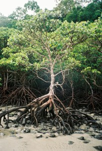 Mangroves on the beach at Daintree, on film