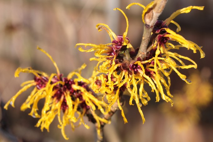 Witch Hazel. (c) Si Griffiths