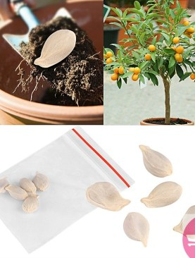 10 Packs Potted plant Fruit Mini Bonsai Orange Tree Seeds Garden Balcony Decor