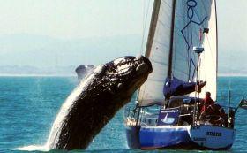 Legendärer Wal-Schnappschuss: 2010 springt vor Kapstadt ein Buckelwal auf eine Yacht. © Cape Town Sailing Academy