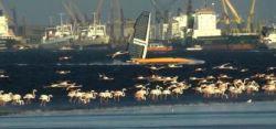 Vestas Sairocket auf ihrem Speed-Strip hinter Flamingos. © Sailrocket