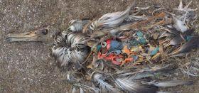 Albatros-Küken auf Midway mit Plastik-Müll im Magen