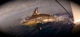 Delfin, Segeln