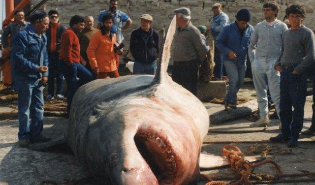 Weißer Hai, Mittelmeer
