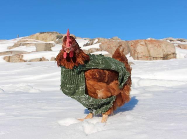 Huhn, Bordkameradin, Abenteuer, Arktis