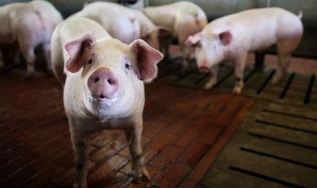 Нет работы? Как насчёт пообниматься со свиньями?