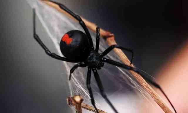 Por que a aranha viúva-negra mata o macho depois do acasalamento?