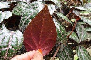 Herbal Ekstrak Tanaman Sirih Merah