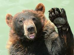 waving bear