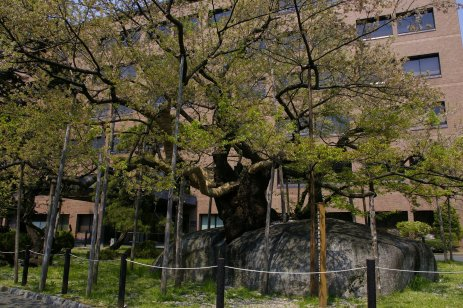 Morioka - Rock Splitting Tree