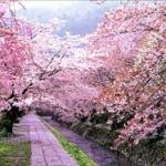 京都の桜開花2015年!満開はいつ?見ごろ時期や最新の穴場はどこ?