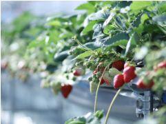 ザファーム ユニバーサルのイチゴ園