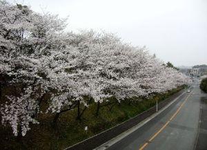荒山公園の桜を道路より見る