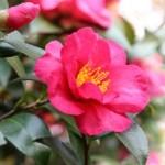 関西(京都)で楽しむ冬の花!椿(ツバキ)の花が見れる名所をご紹介
