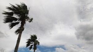 台風で強風に揺れるヤシの木