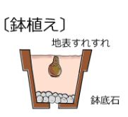 彼岸花の球根を鉢に植え付ける