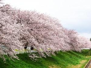 川沿いに咲く桜が美しい