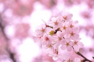 滋賀県三井寺の桜の開花はいつ?