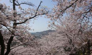 和歌山県の紀三井寺の桜