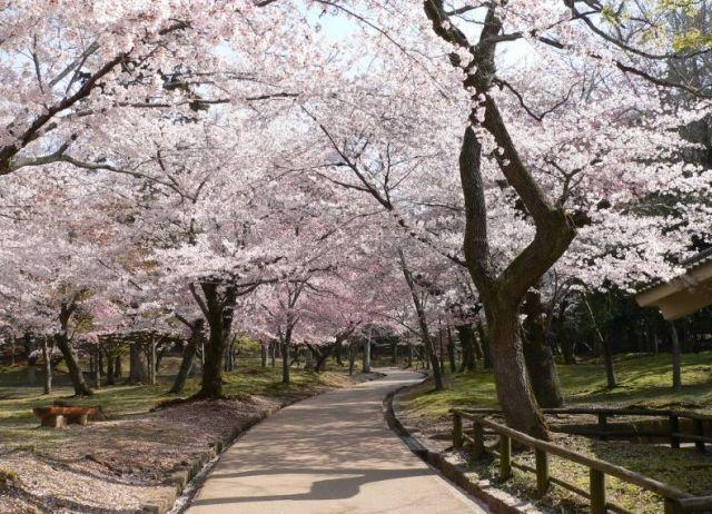 春日野園地北側の見事な桜並木