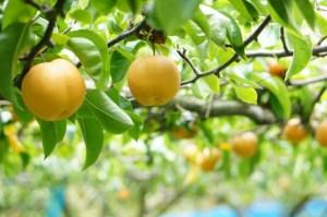秋の味覚「梨狩り」を楽しむ