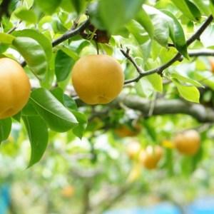 関西で楽しむ梨狩り!食べ放題おすすめ梨園はココ!