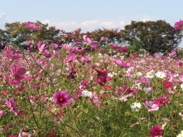 和泉リサイクル環境公園のコスモス2
