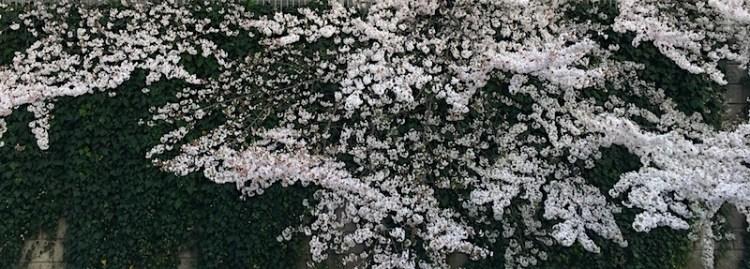 神田川ぞいの桜