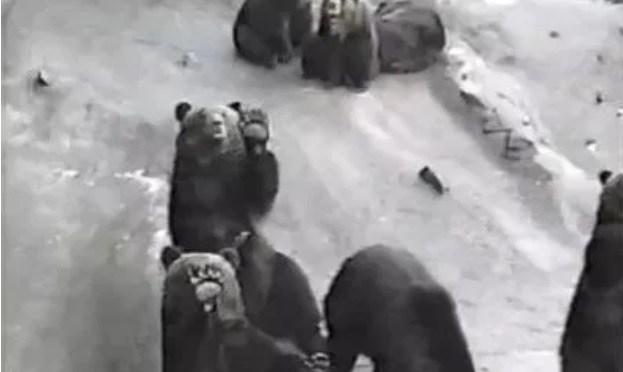 日本の迷信 クマに出あったら死んだふり!