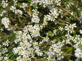 white golf course flowers